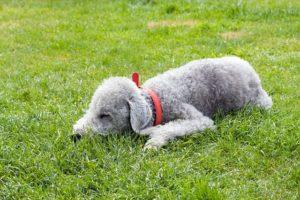 Perro bedlington terrier (Pixabay / Autor: ©Kaz)